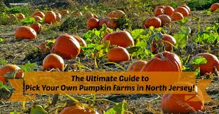 Pumpkin Picking In Chester Nj by The Complete Guide To Pick Your Own Pumpkin Farms In North Jersey