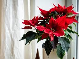 der weihnachtsstern tipps tricks für den vorboten der