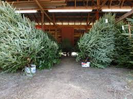 Fraser Christmas Tree Care by Christmas Trees Notes From Dawn