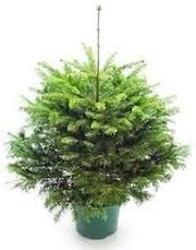 Potted Christmas Tree by Care For Your Pot Grown Christmas Tree Cotswold Christmas Trees