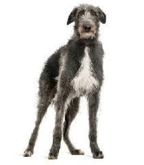 Irish Wolfhound Non Shedding by Hound Dog Breeds Dog Breeds Expert