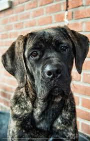 Cane Corso Italiano Shedding by 63 Best Awesome Dog Images On Pinterest Canes Cane Corso And