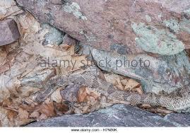 rattlesnake skin and rattle stock photos rattlesnake skin and