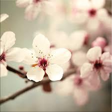glasbild 20x20cm wohnzimmer blumen kirschblüte