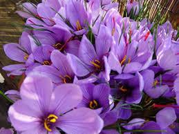 jammu and kashmir medicinal plants introduction centre saffron seeds