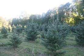 Winterberry Christmas Tree Farm by Mistletoe Christmas Tree Farm