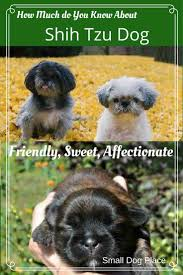 Shih Tzu Lhasa Apso Shedding by Shih Tzu Small Breed Dog