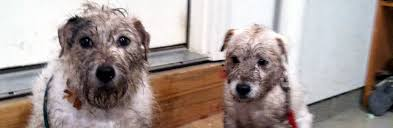 Irish Wolfhound Non Shedding by Jack Russell Terrier Jrtca Advice Shedding Faq