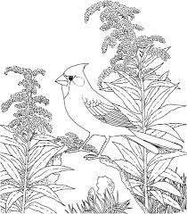 Free Printable Coloring PageKentucky State Bird And Flower Cardinal Goldenrod Educational Printables