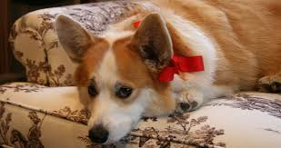 corgi header 1000—530 CorgiMortis Pinterest