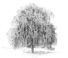 Weeping Willow Tree Drawings Denis Naylor SAA Professional Members Galleries
