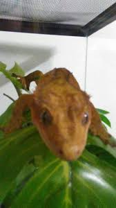 Baby Halloween Crested Gecko by 15 Best Crested Gecko Images On Pinterest Crested Gecko Lizards