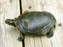 do turtle shells peel