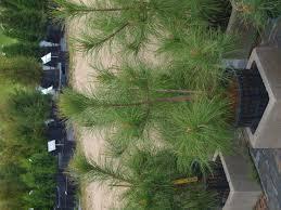 Christmas Tree Saplings For Sale Ireland by Ponderosa Pine And Red Pine 50 Off Sale Knecht U0027s Nurseries