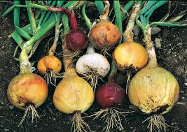 how to grow onions from seed vegetable gardener