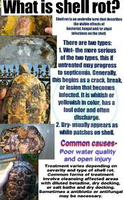 Turtle Shell Not Shedding by Shell Rot In Turtles Tortoises My Turtle Tortoise Care Posters