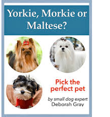 Morkies Do They Shed by Yorkie Morkie Or Maltese U2013 About Morkies