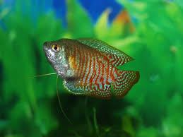 poisson eau douce aquarium tropical images gratuites animal faune sous marin vert tropical la
