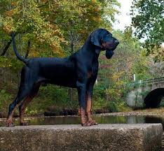 Best Hunting Dogs That Dont Shed by Black And Tan Coonhound