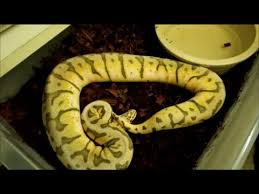 ball python substrate reptichip vs aspen our review youtube