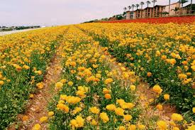 Pumpkin Patch Carlsbad Mall by Let U0027s Wander The Carlsbad Flower Fields Alison Leigh S