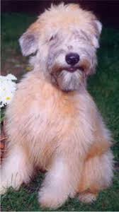 Do Wheaten Terriers Shed by Welcome To The Soft Coated Wheaten Terriers Home Page