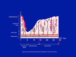 Shedding Of The Uterine Lining Is Called by Repropedia