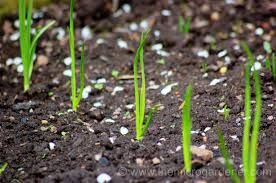 guide to growing onions the micro gardener