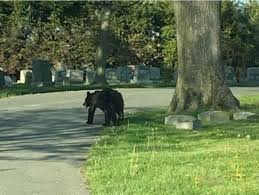 Lost Bear Cub Seen Roaming Through Local Cemetery