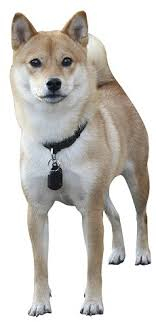 do shiba inus shed hair shiba inus what s about em what s bad about em