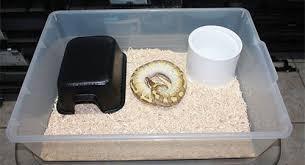 ball pythons husbandry breeding and morphs ultimate exotics