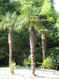 prix des palmiers exterieur trachycarpus fortunei en vente chez palmiers prestige vente des