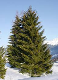 What Is The Best Christmas Tree Variety by Spruce Wikipedia