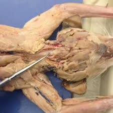 cat digestive system cat digestive system anatomy physiology 2402 with stienke at