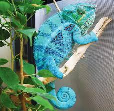 Basking Lamp For Chameleon by Panther Chameleon Care Information