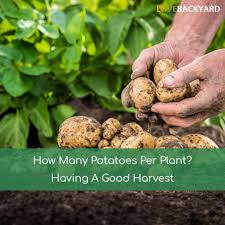 How Many Potatoes Per Plant? Having A Good Harvest (Dec, 2017) Texas Garden The Fervent Gardener How Many Potatoes Per Plant Having A Good Harvest Dec 2017 To Grow Your Own Backyard 17 Best Images About Big Green Egg On Pinterest Pork Grilled Red Party Tuned Up Want Organic In Just 35 Vegan Mashed Potatoes Triple Mash Mashed Pumpkin Cinnamon Bacon Sweet Gardening Seminole Pumpkins And Sweet From My Backyard Potato Salad Recipe Taste Of Home