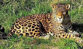 Jaguar Fiercest Cat of the Americas