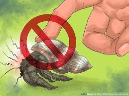 Halloween Hermit Crab Care by How To Play With Your Hermit Crab 13 Steps With Pictures