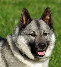 30 Dog Breeds That Shed The Most by Norwegian Elkhound Dog Breed Information Pictures