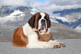 Do Short Haired Saint Bernards Shed by Best Dog Food For Saint Bernards Dog Food Guru