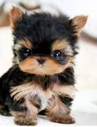 Best Mini Dogs That Dont Shed by Best 25 Good Small Dogs Ideas On Pinterest Cute Small Dog