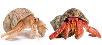 Do Hermit Crabs Shed Shell by Amazon Com Live Pet Hermit Crab Complete Kit Shipped With 2