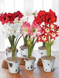 potted amaryllis bulbs 6 varieties in birch pots gardeners
