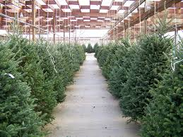 Which Christmas Tree Smells The Best Uk by How To Pick The Perfect Christmas Tree For Your Home