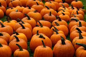 Pumpkin Patch Western Massachusetts by Pumpkins Liz West Flickr