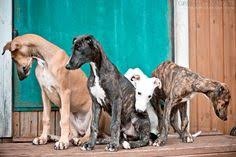 Do Italian Greyhounds Shed A Lot by Do Italian Greyhounds Shed A Lot 28 Images Thinking About