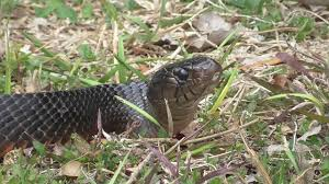 Texas Indigo Snake At Neighbor's Backyard. No Left Eye. - YouTube Florida Brown Snake Backyard Snakes Is This A Copperhead Backyard Chickens Hornets Eating In My Rebrncom In Youtube Catcher Removes Mating Brown Snakes From Queensland Backyard Of Pennsylvania 21 Species 3 Them Venomous Pennlivecom The Lollipop Tree A Well Monster Lives My Slithering Nj Meet The 22 Snake Garden State Images Identify North Carolina Wsoctv Cooldesign Architecturenice Big Page 6 Talk Villages