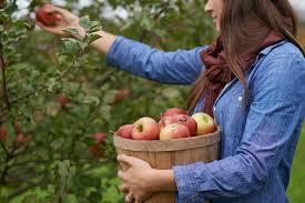 Morristown Nj Pumpkin Picking by Best Apple Picking Near Nyc 8 Fun Apple Orchards U0026 Farms In Ny U0026 Nj