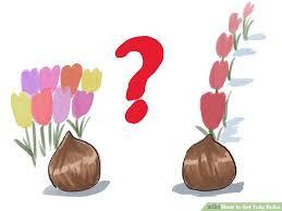 how to get tulip bulbs 9 steps with pictures wikihow