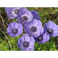 anemone bulbs anemone blue poppy terra ceia farms